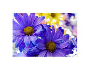 colored_daisy_1_300x232
