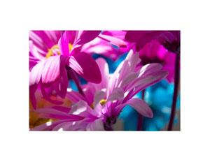 colored_daisy_300x232