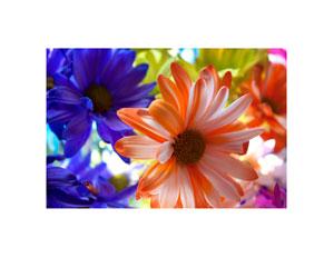 colored_daisy_3_300x232