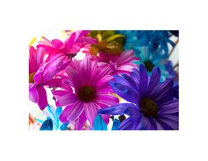 colored_daisy_4_300x232