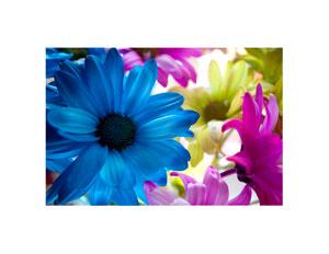 colored_daisy_5_300x232